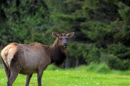 Lone Elk Portrait at Ecola State Park in Oregon Coast