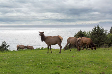 Herd of Elk grazing on green pasture in Cannon Beach Ecola State Park at Oregon Coast