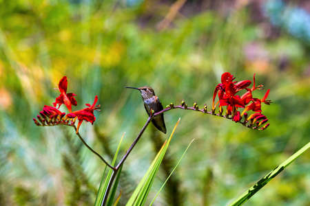 Young Rufous Hummingbird perched on stalk of Crocosmia red flowers in summer