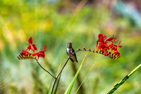 Immature male Rufous Hummingbird perched on a stalk of Crocosmia flowers in summer