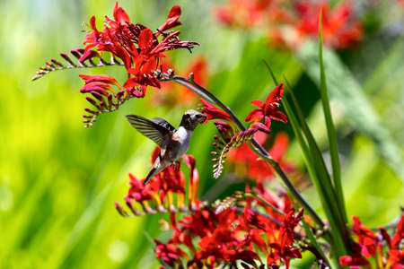 Hummingbird Rufous in flight getting nectar from red Croscomia flowers in summer