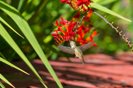 Rufous Hummingbird hovering over red Crocosmia flowers feeding on nectar