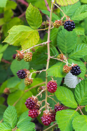 Himalayan Blackberry Bush Plant with berries fruit and leaves in summer