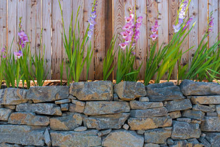 Gladiolus flowers blooming along garden wood fence in summer Stock Photo