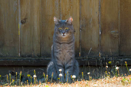 Gray Tabby Cat sitting by the fence in the garden