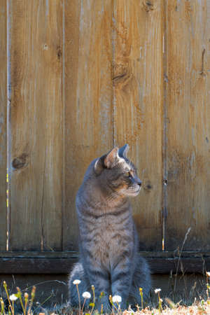 Gray Tabby Cat sitting by the fence in the garden looking sideway
