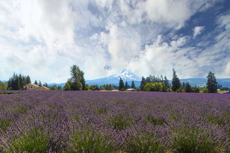 Lavender field flowers in full bloom at Hood River Valley Oregon during summer Stock Photo