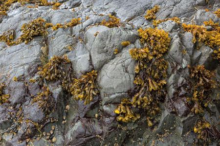 Bladderwrack seaweeds clinging on rock face during low tide at the Oregon Coast Stock Photo
