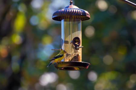 Goldfinch male feeding on sunflower seeds from backyard garden birdfeeder