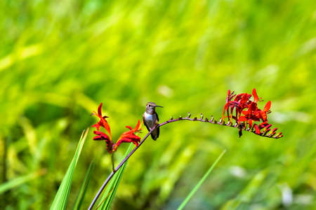 Young Rufous Hummingbird perched on flower stalk of Crocosmia plant in summer