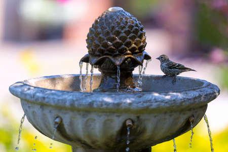 Pine Siskin bird perched on backyard garden water fountain on a sunny day Standard-Bild