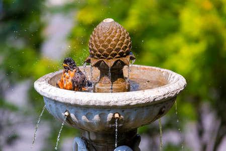 American Robin male bird bathing in garden water fountain on a sunny day