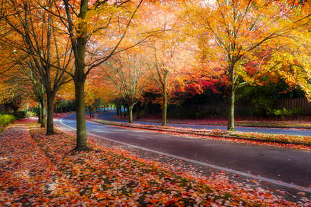 Maple trees lined curvy winding street with fall foliage during autumn season in Oregon