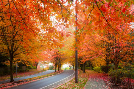 Maple trees canopy lined curvy winding street with fall foliage during autumn season in Oregon
