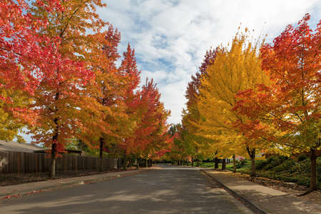 American Sweetgum trees canopy lined winding street with fall foliage during autumn season in Oregon