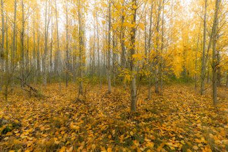 Poplar trees forest on a foggy morning during fall season in Oregon