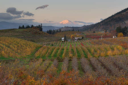 Mount Adams at Hood River Oregon fruit orchards during sunset in fall season Stock Photo