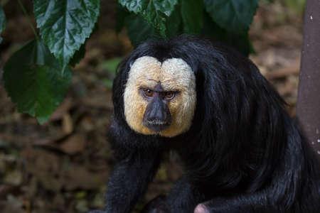 White-Faced Saki Monkey Closeup Portrait