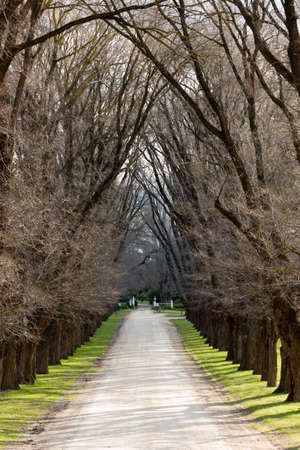 large trees: A gravel laneway lined with large trees on both sides.