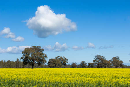 sun drenched: A bright yellow sun drenched Canoloa Crop with trees in the background and clouds in the sky.