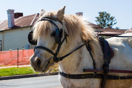 shetland pony: A light coloured Shetland Pony with a harness.