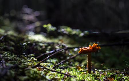 sweden: Fungi 44, Dalarna, Sweden Stock Photo