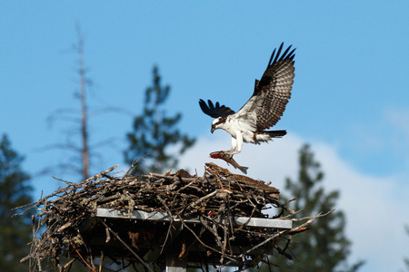Osprey brings a huge fish to the nest for a newly hatched chick. (Pandion haliaetus) Oregon, Ashland, Emigrant Lake, Taken 06.14 Stock Photo