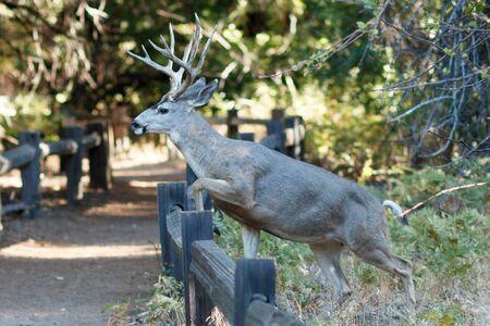 salto de valla: Mule deer buck jumping fence, (Odocoileus hemionus), California, Yosemite National Park, Taken 09.14