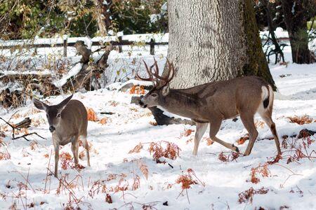 mule deer: Mule deer buck with large antlers in snow, California, Yosemite National Park, Taken 11.16 Stock Photo