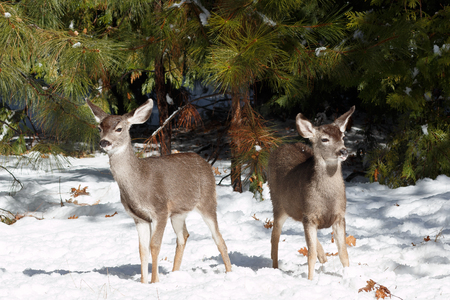 mule deer: Mule deer fawns standing in snow, California, Yosemite National Park, Taken 11.16