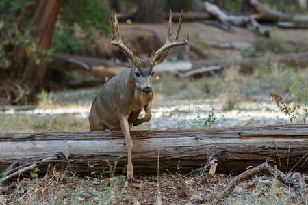 mule deer: Mule deer buck jumping log, (Odocoileus hemionus), California, Yosemite National Park, Taken 09.14 Stock Photo