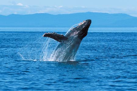 Humpback whale breaching (Megaptera novaeangliae), Alaska, Southeast Alaska, Frederick Sound, Taken 07.96