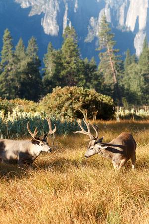 mule deer: Mule deer bucks with large antlers, (Odocoileus hemionus), California, Yosemite National Park, Taken 09.14