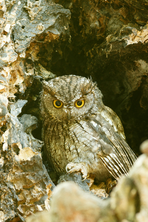 megascops: Western screech owl sits in an oak tree. (Megascops kennicottii) Oregon, Ashland, Lithia Park. Taken 08.14