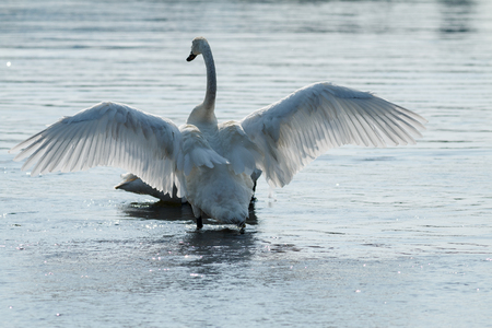 Trumpeter swan with wings spread, Wyoming, Yellowstone National Park, Taken 08.15 Stock Photo