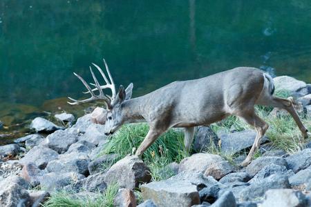 mule deer: Mule deer buck with large antlers, (Odocoileus hemionus), California, Yosemite National Park, Taken 09.14