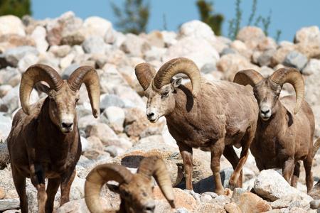 rocky mountain bighorn sheep: Bighorn Sheep rams, Colorado, Rocky Mountain National Park, Taken 06.15