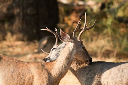 backs: Mule deer bucks licking each others backs, (Odocoileus hemionus), California, Yosemite National Park, Taken 11.13