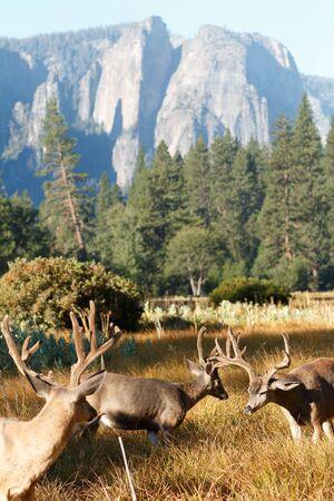 mule deer: Mule deer bucks in Yosemite Valley, California, Yosemite National Park, Taken 09.14