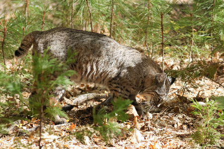 bobcat: la caza del lince, (Lynx rufus), California, Parque Nacional de Yosemite, tomado 10.13 Foto de archivo