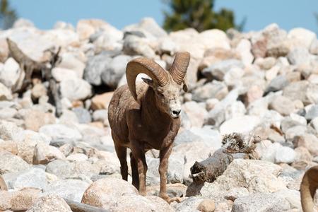 rocky mountain bighorn sheep: Bighorn Sheep ram, Colorado, Rocky Mountain National Park, Taken 06.15 Stock Photo