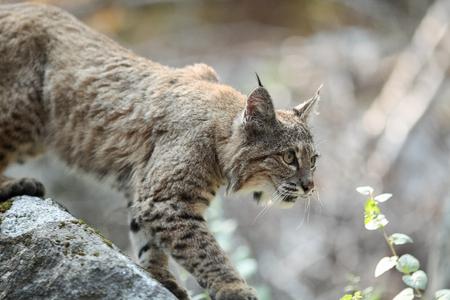 Bobcat hunting, (Lynx rufus), California, Yosemite National Park, Taken 09.13 Stock Photo
