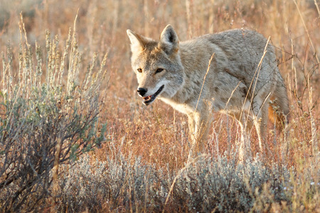 Coyote walking in grass, Wyoming, Grand Teton National Park, Taken 08.15 版權商用圖片