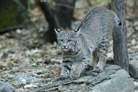 bobcat: la caza del lince, (Lynx rufus), California, Parque Nacional de Yosemite, tomado 09.13