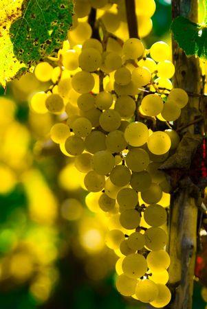 on the vine: Uva de vid en una bodega