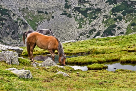 Free horse into the Retezat mountain, drinking water photo