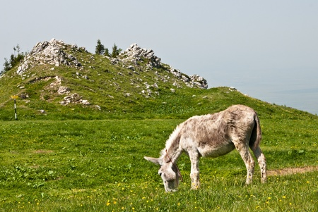 A free donkey grazing on the mountain photo