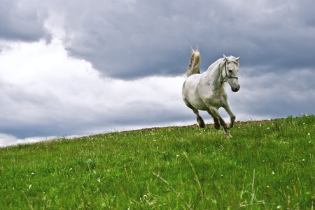 Free white horse runing in the summer field