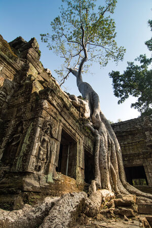 Ta Prohm, built by the Khmer King Jayavarman VII as a Mahayana Buddhist monastery and university  Huge trees are blended into the walls, and rocks are hugging the giant roots  photo