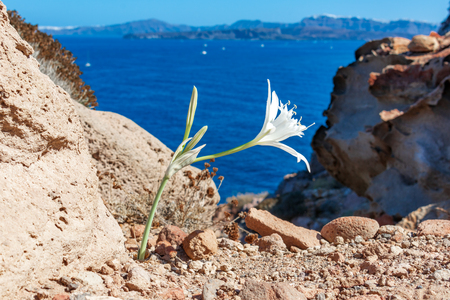 Santorini island, Greece: White wild flower close on a blurry background of the Aegean sea Reklamní fotografie